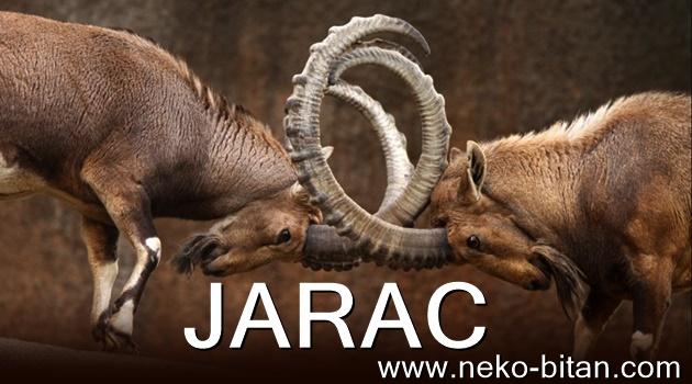 JARAC: Njegovi glavni aduti su UPORNOST i NEPOKOLEBLJIVOST. On nikada NE ODUSTAJE!